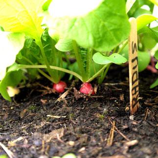 radijs kweken oogsten