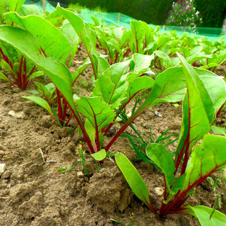 bieten kweken zaaien verzorgen