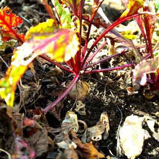 biet kweken oogsten uitdunnen