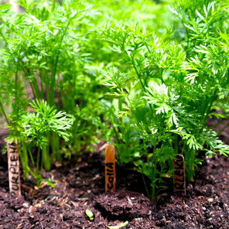 wortels kweken uitdunnen planten