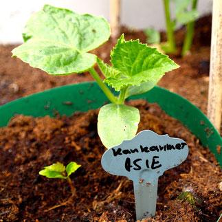 komkommer asie kweken zaaien verzorgen