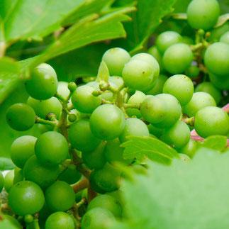 druiven klimplant