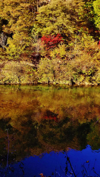 美しい紅葉 紅葉まっさかり見所みどころ見ごろ中津川付知川河畔見所散策鉄道跡地遊歩道苔地衣類山野草しょうじょうばかまさんさくりどうとさみずきもみじやまざくらすみれしでこぶし