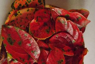 色づく柿の葉、はらりと一枚舞い落ちる。この木は特別気が早い!他の木々はまだまだ!