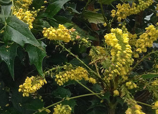 Mahonia flowering in March
