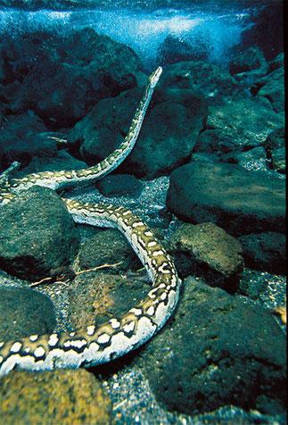 Pitone delle rocce africano (Python sebae) a Mzima Springs, una specie famosa per la sua aggressività. Raggiunge i 7 metri di lunghezza e 65 Kg di peso.