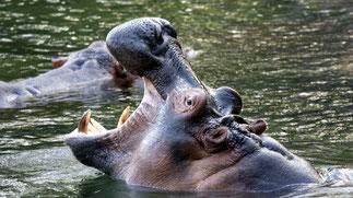 Ippopotami nelle piscine di Mzima Springs.