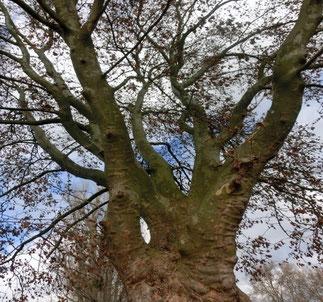 "Wünschendorf Elster Platane ""Baum des Monats"""