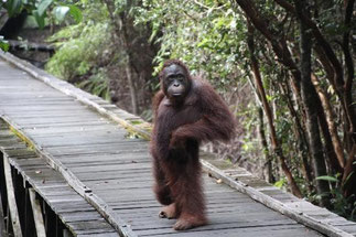Tanjung Puting National Park, BORNEO, île de KALIMANTAN.