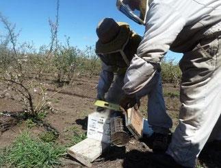 des nids de bourdons ( bombus terrestris) en parallèle des abeilles apis mellifera, dans les plantations de myrtilles au Chili