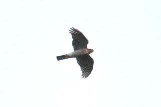 ハイタカ ♂成鳥