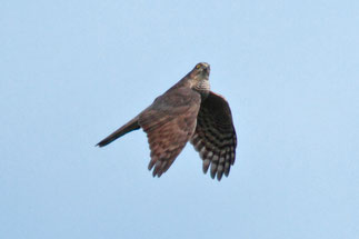 ハイタカ 成鳥
