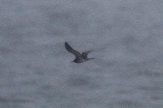 セグロアジサシ 幼鳥