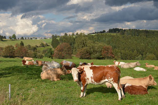 Kühe bei Böhlen im Thüringer Wald