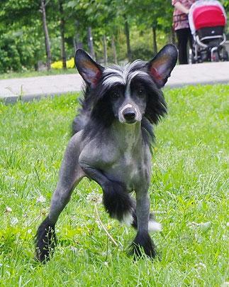 Купить щенка китайской хохлатой  Питомник китайских хохлатых Perfetto Amico, Украина