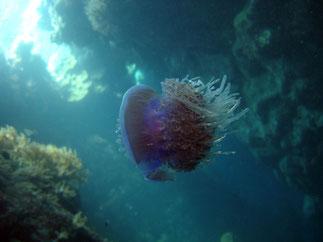méduse (mer Rouge Egypte)