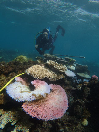 AIMS researcher and diver Patrick Buerger assesses the coral community at Hastings Reef, off the coast of Port Douglas as 'extreme' (>60% of the coral community bleached). Image: N. Cantin / AIMS