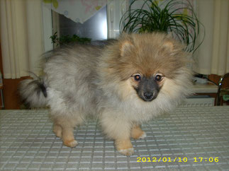 Brutus (Pomeranian Spitz)