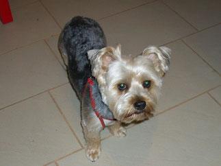Merlin (Yorkshire Terrier)