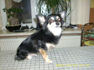 Odin (Chihuahua) kommt regelmäßig zum Auskämmen und Konturen schneiden