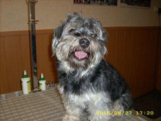 Sammy kam zur Komplettpflege. Der kleine Bolonka Zwetna ist zwar sehr ängstlich aber kuschelt gern.