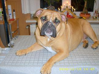 Lotte (DaCapo Bulldogge) wurde gebadet und geföhnt