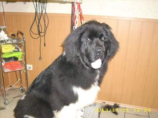 Sancho (Neufundländer) mit einem halben Jahr