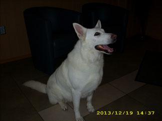 Frida (Weißer Schäferhund) ausgekämmt und gebadet