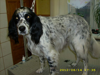 Misolino (English Setter)