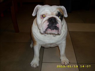 Lola (Englische Bulldogge)