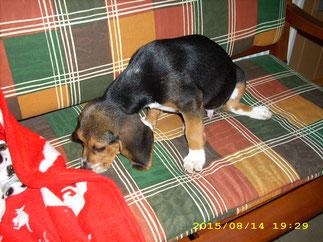 Theo, ein junger Beagle wurde gebadet und geföhnt,