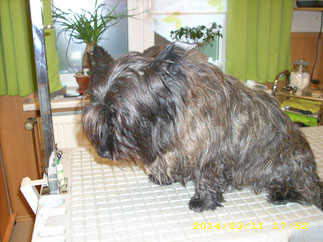 Spencer (Cairn Terrier)