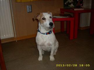 Amy (Parson Russell Terrier) wurde getrimmt