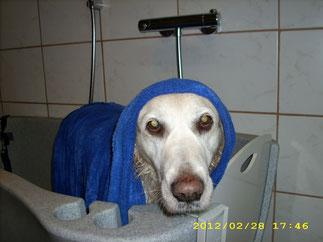 Romy (Golden Retriever) genießt ihr Bad