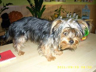 Lilly (Zwergyorki) zum ersten mal beim Hundefriseur