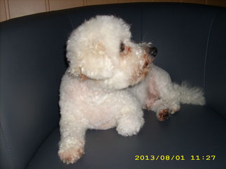 Willi (Bichon Frise)