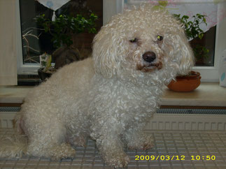 Teddy (Bichon Frise )