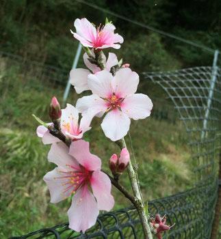 アーモンドの花。桜に似てます。