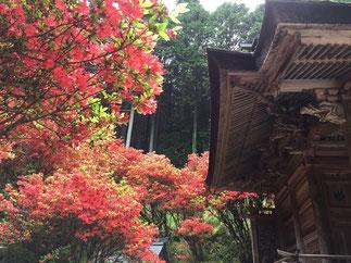 一の宮神社のきりしまつつじ。キレイです!