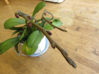 三度目の春を迎えた、さいはま園の胡蝶蘭。
