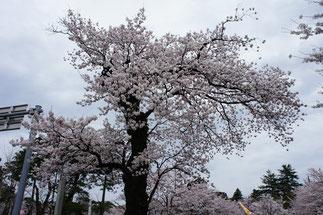 樹齢100歳の木々。今もなお、懸命に咲き誇る