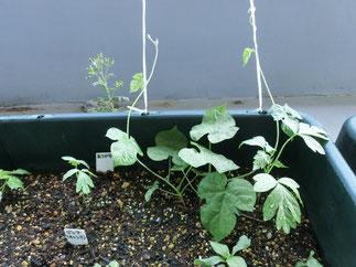 プランターに植えたアサガオも、上に伸びてきました