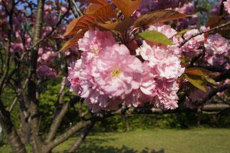 お馴染み、五智公園の「八重桜」。まばゆいピンクはまさに見頃!