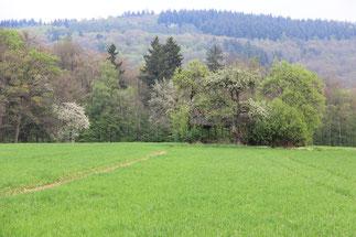 Getreide im Frühjahr auf dem Schmelzer Feld