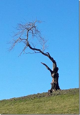 Eigentlich kein schöner Baum, aber einer, der schon viel erlebt hat und wohl auch etliche Stürme an dieser exponierten Lage (unterhalb Wysshus). Nicht mal im Alter hat er es ruhig, weil er täglich er von vielen Krähen besucht wird.