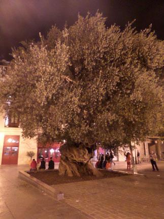 Extraordinaire olivier millénaire replanté sur  la plaça de Cort il y a trente ans