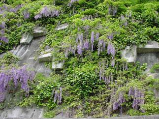フジの開花 (香川県内)