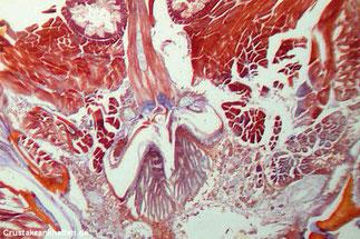 Querschnitt des Skelettmuskels, mit dessen Hilfe die Garnelen beim Fluchtreflex ihre Abdominalsegmente und den Schwanzfächer blitzschnell nach vorn schlagen, um rückwärts flüchten zu können.