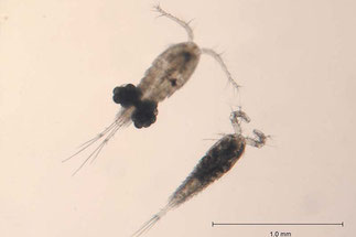 Männliche und Weibliche (oben) Cyclops bicuspidatus. Die Hüpferlinge werden 0,5–1 mm lang. Sie gliedern sich deutlich in zwei Körperabschnitte. Foto: Wikepedia