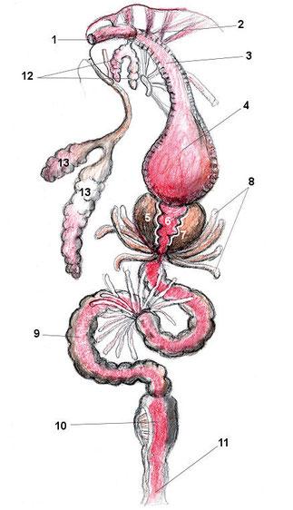 1 Mund, 2 Speiseweg, 3, Speiseröhre, 4 Kropf, 5 Vormagen, 6 Magensack, 7 Kauzähne, 8, Mitteldarmdrüse, 9 Mitteldarm, 10 Enddarm, 11 Anus (Austritsöffnung des Enddarm), 12 Antennen- Maxillendrüsen (Nierenschläuche), 13 Speicheldrüse